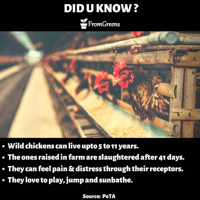 Animal rights - Did you know chicken facts