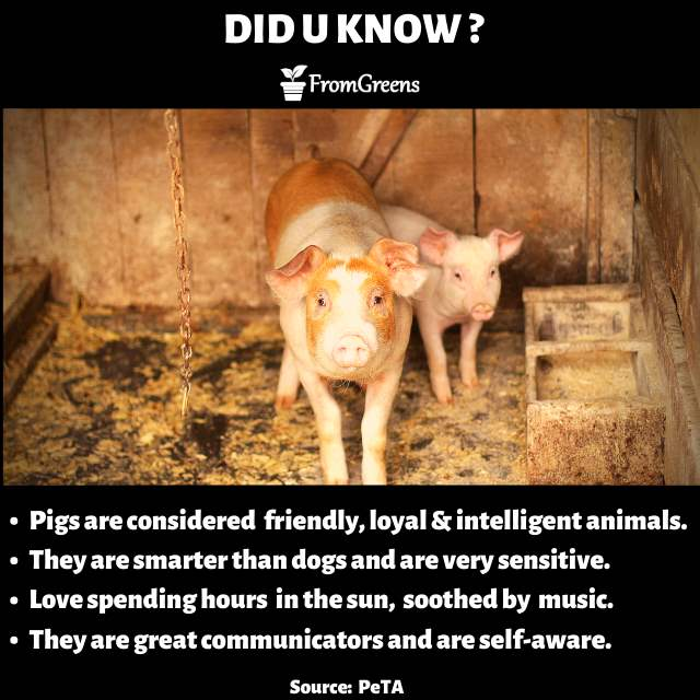 Did you know pig facts