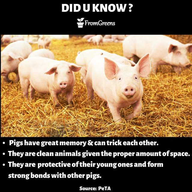 Animal rights - Did you know pigs facts